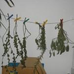 Kräuter trocknen: günstiger Vorrat für den Winter